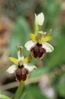 Ophrys araneola, Ophrys araignée précoce