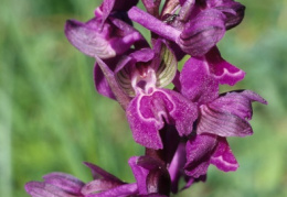 Orchis morio, Orchis bouffon