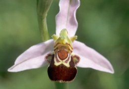 Ophrys apifera, Ophrys abeille