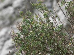 Thymus vulgaris, Thym des jardins