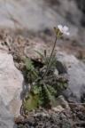 Cardaminopsis arenosa subsp. borbasii, Cardaminopsis de Borbas