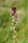 Orchis ustulata subsp. aestivalis, Orchis d'été