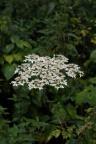 Heracleum sphondylium, Berce des prés