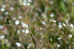 Spergula arvensis, Spargote des champs