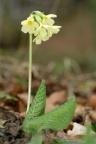 Primula elatior, Primevère élevée