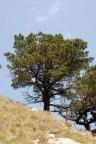 Pinus mugo subsp. uncinata, Pin à crochet