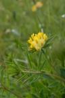 Anthyllis vulneraria subsp. carpatica, Anthyllide commune