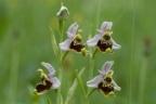 Ophrys holosericea, Ophrys bourdon