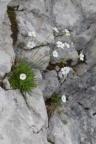 Androsace lactea, Androsace lactée
