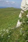 Heracleum sphondylium subsp. alpinum, Berce du Jura
