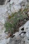 Athamanta cretensis, Athamante de Crète