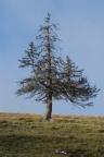 Picea abies, Épicéa