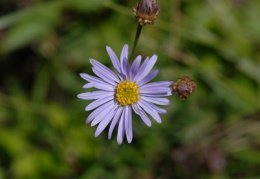 Aster amellus, Aster amelle