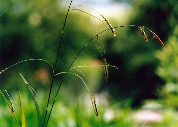 20010600_courtemaiche_carex_sylvatica.jpg