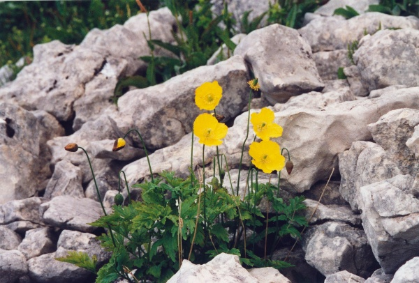 20040626_cormoret_petit-chasseral_meconopsis_cambrica_01.jpg