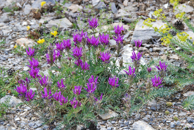 20070626_lens_vs._astragalus_onobrychis_.jpg